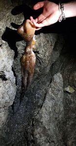 Pieuvre Commune (Poulpe) — Jordan Cabrol