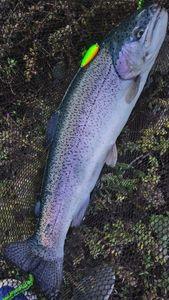 Rainbow Trout — Robin Pinson