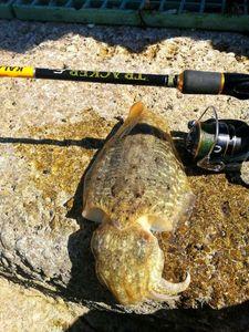 Common Cuttlefish — Adrien Casagrande