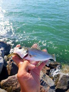 European Bass (Seabass) — Alexis.Fishing. 79