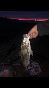 Striped Bass (Landlocked)