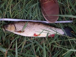 Chub — Rod Fishing