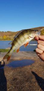European Perch — Ianis_fishingbuffs