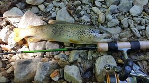 Brown Trout — Brice Klg