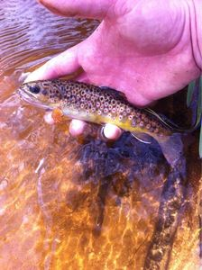 Brown Trout — Etienne GRES