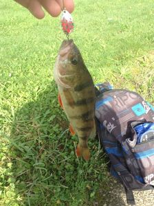 European Perch — Clement NODIRAH'L