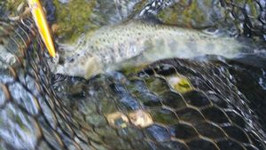 Brown Trout — Mathis Lacombe