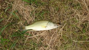 Smallmouth Bass — Eric Labaudiniere