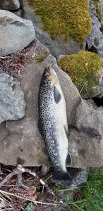Brown Trout — Fischer 68