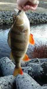 European Perch — Youen Guesdon ( chaine youtube le schtroumpff fishing)