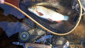 Barbeau Fluviatile — Flux Fly Fishing