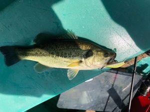 Largemouth Bass — Kévin Araujo