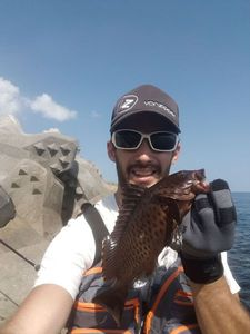 Areolate Grouper
