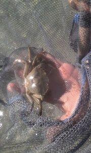 Crabe Enragé (Crabe Vert) — Hao Pecheur