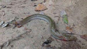 European Eel (Common Eel) — Michael Riviere