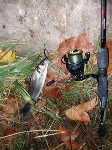 European Bass (Seabass) — Andrea Nocera