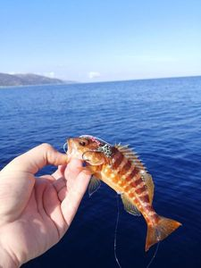 Serran Commun (Sarran) — Adrien Fisherman