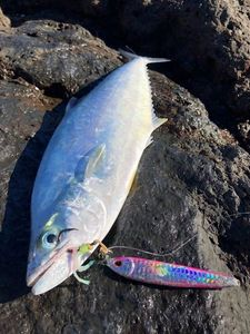 Talang Queenfish — Tiago Shore Jigging