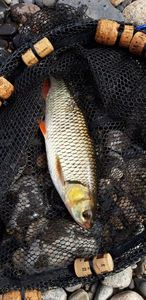 Common Dace — Phil Mages