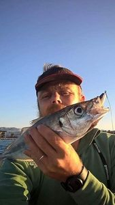 Mediterranean Horse Mackerel — Guillaume Mergan