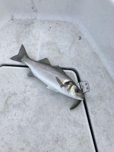 European Bass (Seabass) — Vincent Le Cam