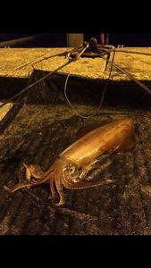 European Squid — Charles Albanesi