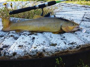 Brown Trout — Louison  Beaudoing