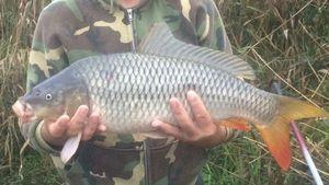 Common Carp — Arno Pierre