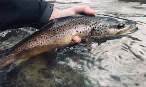 Common Trout — Nicolas Meynard