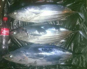Skipjack Tuna — GIORGIO  ANDRIEU