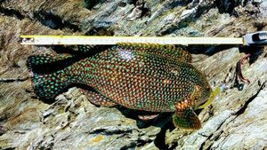 Vieille Commune — breizh fish addict