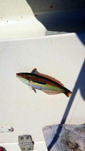 Mediterranean Rainbow Wrasse — Pierre-Jean Jardinet