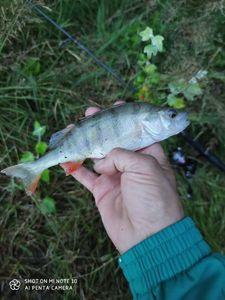 European Perch — Cyrille Thuet