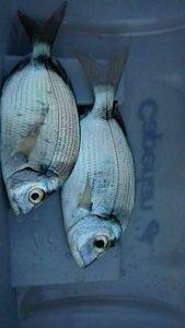 Common Two-banded Seabream — Nicolas Di Lenarda