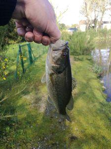 Smallmouth Bass — Maujean Éric