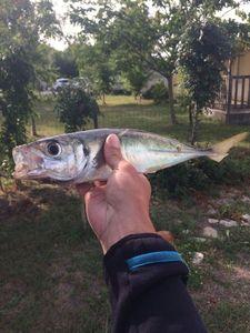 Blue Jack Mackerel