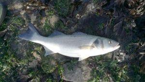 European Bass (Seabass) — Romain Fontaine