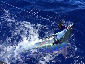Marlin Bleu (Atlantic)