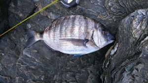 White Seabream — breizh fish addict