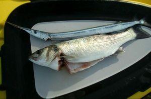 European Bass (Seabass) — Mick Salaun