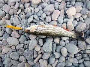 Chub — Momo fishing