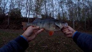 European Perch — Leurre 2 fish