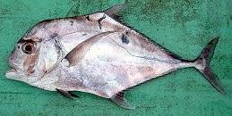 African Pompano
