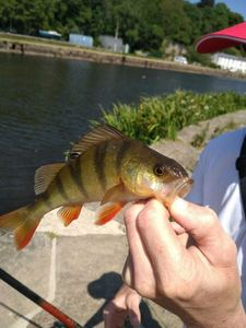 European Perch — Xavier Petit Sere Gens
