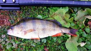 European Perch — Xavier Brillant
