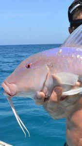 Banded Goatfish — Nicolas Xmylife Rodmaps