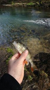 European Perch — hornet flyfishing