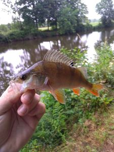 European Perch — fishiscoming fr