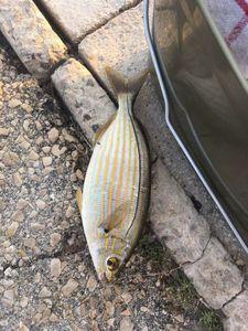 Salema — Ludo La pesca