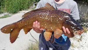 Common Carp — Alexandre Menard